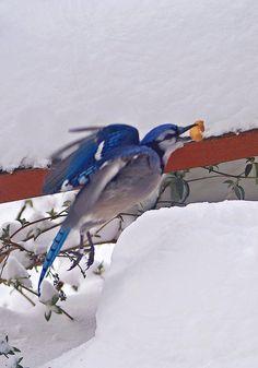 Bluejay in Snow~cl Blue Jay Bird, Birds 2, Bird Feathers, Beautiful Birds, Great Photos, Cl, Winter Wonderland, Animals And Pets, Natural Beauty