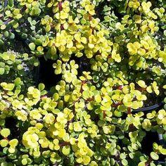 Portulacaria afra 'Aurea'atSan Marcos Growers