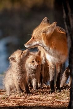 Mom And The Kids Wildlife, Fox, Babies, Moms