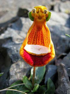 Orquídea Zapatito de la Virgen o Alien Feliz (Calceolaria Uniflora)