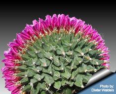 Turbinicarpus alonsoi Forma cristata!!! Bebe'!!! Unique cactus species!!!