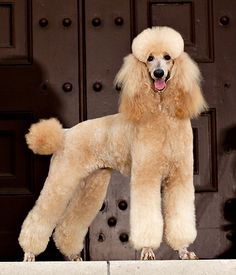 Google Image Result for http://www.poodleforum.com/attachments/poodle-pictures/15245d1294692617-another-color-question-img_0680lexi1_standing.jpg