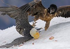 The vulture as a symbol for death