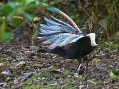 http://theconversation.com/lyrebirds-mimicking-chainsaws-fact-or-lie-22529