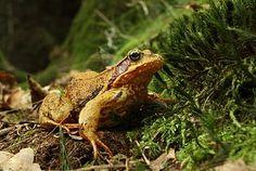 Skokan hnědý (Rana temporaria) na území přírodního parku Trhoň, ležícího v okrese Rokycany