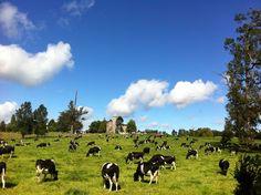 Cows in Frutillar, Chile