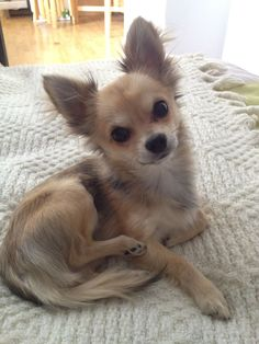 Cappou - #chihuahua long hair - 7 months Finally found a picture that looks like Bambi