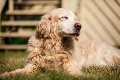 Old Golden Retriever Stock Image , Old Golden Retriever, Image Stock, Style Inspiration, Illustrations, Stock Photos, Dogs, Animals, Animales, Animaux