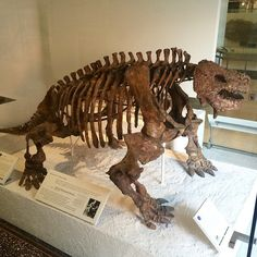 Scutosaurus karpinskii is one of the pareiasaurs, possible relatives of turtles that had spikes and thickened knobs around their skull. This animal, measuring roughly eight feet in length, lived during the Late Permian, about 253 million years ago.