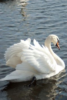 Gorgeous beautiful swan photo of birds. Swan Love, Beautiful Swan, Beautiful Birds, Animals Beautiful, The Animals, Nature Animals, Pretty Birds, Love Birds, Swans