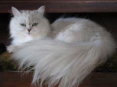 Chinchilla Longhair Cats