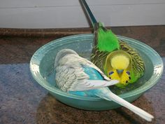 Two budgies having a bath in a shallow bowl of water.