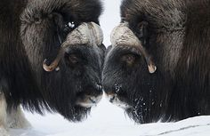 Photo: Vincent Munier / Wild Wonders of Europe Munier, Musk Ox, Types Of Animals, Fine Art Prints, Canvas Prints, Animal Posters, Vertebrates, Gloss Matte, Nature Pictures