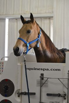 One of our furry client's enjoying the Cold Salt Water Therapy at Selway Equine Therapy Center.