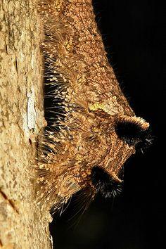 O final da cabeça de uma enorme lagarta de mariposa, em modo defensivo, com o corpo arqueado. Lagarta de mariposa da família Lasiocampidae. Fotografada em Pu'er, província de Yunnan, China, por John Horstman.