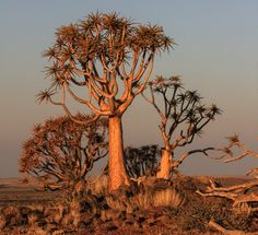 The quiver trees (kokerbome) of Kenhardt are the living – and dying – witnesses to climate change in southern Africa's arid areas. Christmas Mesh Wreaths, Advent Wreaths, Door Wreaths, Christmas Stockings, Rustic Wood Crafts, African Tree, Traditional Archery, Unique Trees, Architecture Tattoo