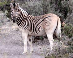The quagga () (Equus quagga quagga) is an extinct subspecies of the plains zebra…