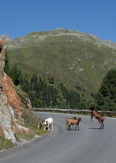 Goats on the Kaunertallergletscherstrasse, Tirol, Austria