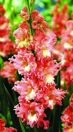 Gladiolus 'Frizzled Coral Lace' - Totally frilly coral blooms with a creamy center make this variety a real eye-catcher. Hardy in Zones 8-10, lift the bulbs in the fall everywhere else.
