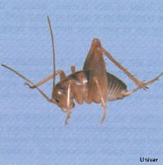 camel crickets are often found in damp basements utility rooms crawl