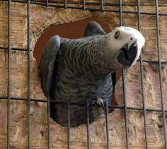 Parrot Link - Breeding African Greys