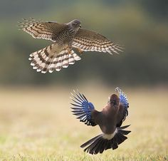 Sparrowhawk, Accipiter nisus & Eurasian Jay, Garrulus glandarius attack and defense by BogdanBoev
