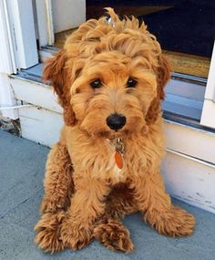 """Lucy the Cockapoo:""""I really can't explain it. I have this tremendous urge to come out, then go in, then come out, then go in, then come out...."""" @KaufmannsPuppy"""