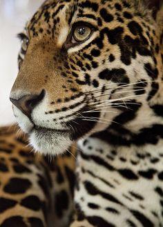The Peaceful Face of a Jaguar by Doug Klembara, via Flickr