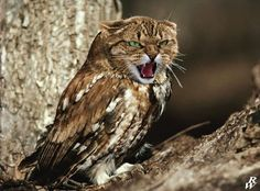 Don't piss em off. | Owls With Cat Heads Are Totally Creepy-Cute
