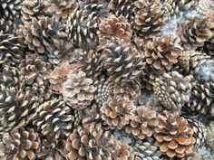 peace-and-awe:  pinecones my original photography- please do not remove credit