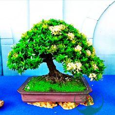 Bonsai Ficus, Bonsai Art