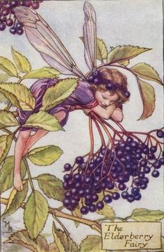 Elderberry Fairy Cicely Mary Barker - The Flower Fairies of the Autumn was first published in These prints are from First or early editions of this work. Each Flower Fairy print is accompanied with a copy of the poem authored by Cicely Mary Barker. Cicely Mary Barker, Elderberry Flower, Elderberry Bush, Elderberry Benefits, Decoupage, Autumn Fairy, Vintage Fairies, Flower Fairies, Fantasy Illustration