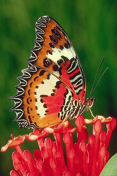 The Malay Lacewing Butterfly(Cethosia Hypsea)