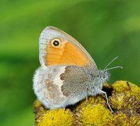 Kleines Wiesenvogelchen Schmetterling Wiese Tiere