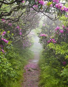 ✯ Rhododendron Time in North Carolina