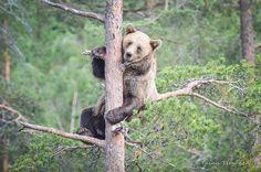 Gray Bear @ Ranua Zoo 2014