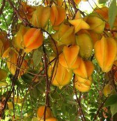 Groen tot gele, stervormige vruchten met sappig, zoetzuur vruchtvlees. Blad reageert op licht en abrupte beweging, waarna het zich kan sluiten. Plant is bestand tegen lichte vorst.