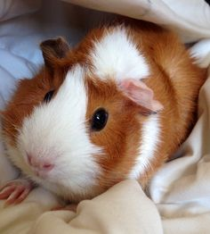 fisticubs:For the people that follow me for piggies: Hark! A pig!