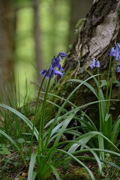 Forest Bluebells and all the lovely undergrowth of a forest remind me to look down and all-around, not just up, when walking through a forest. There is incredible diversity and everything, except the man-made intrusions, is there for a reason.