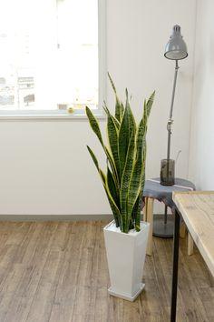 観葉植物に迷ったらサンスベリア|空気清浄・運気UPの効果も! | iemo[イエモ]