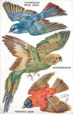 AMERICAN BLUE BIRD, BUDGERIGAR, WEAVER BIRD