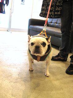 Ms.Hanako, French Bulldog