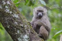 size: Photographic Print: Juvenile olive baboon sitting in tree, Arusha National Park, Tanzania, East Africa, Africa by Ashley Morgan : Arusha, Baboon, East Africa, Character Design References, Tanzania, Baby Animals, Framed Artwork, Find Art, Monkey