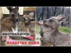 Orphaned Kangaroo Won't Stop Hugging His Brother Since They Were Rescued from Bushfire Burn - YouTube