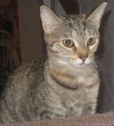 -Sassie is an adoptable Domestic Short Hair - Gray And White Cat in Spring Lake, NJ. Sassie- Sassie's story is very sad. When her owners were evicted, they let this poor housecat onto the streets to f...