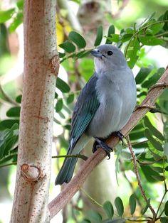 Photo Sayaca Tanager (Tangara sayaca) by José Bauer | Wiki Aves - The Encyclopedia of Brazilian Birds
