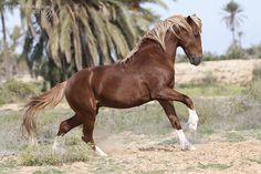 Barb stallion by lifaya.deviantart.com on @deviantART