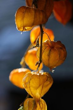 'Lanterns for Autumn,' Chinese Lantern Plant (Physalis alkekengi) Autumn Day, Autumn Leaves, Chinese Lanterns, Foto Art, Seed Pods, Mellow Yellow, Mother Nature, Beautiful Flowers, Seeds
