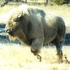 white buffalo Native American Beliefs, Native American Indians, Native Americans, Majestic Animals, Animals Beautiful, Buffalo Pictures, White Bison, Animals And Pets, Cute Animals