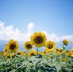 Sunflowers my favorite flower ever! Sunflowers And Roses, Love Flowers, Yellow Flowers, Wild Flowers, Beautiful Flowers, Pocket Full Of Sunshine, Big Yellow, Sunflower Fields, More Photos